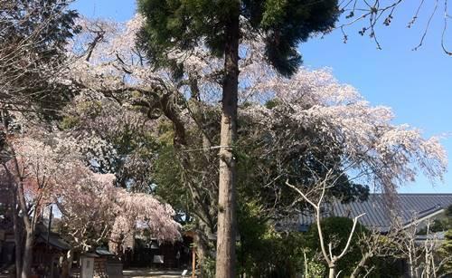 いわき市三島八幡神社 枝垂れ桜.JPG