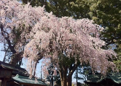 いわき市三島八幡神社 枝垂れ桜2.JPG