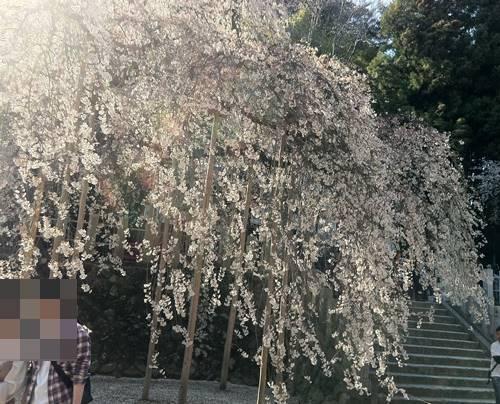 いわき市小川町 諏訪神社 枝垂れ桜2 (1).JPG