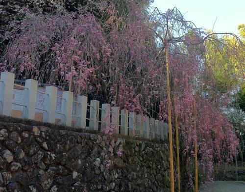 いわき市小川町 諏訪神社 枝垂れ桜2 (2).JPG