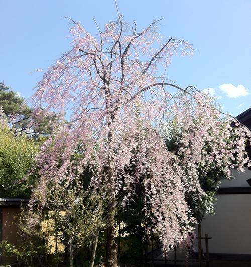 勿来の関 枝垂れ桜.JPG
