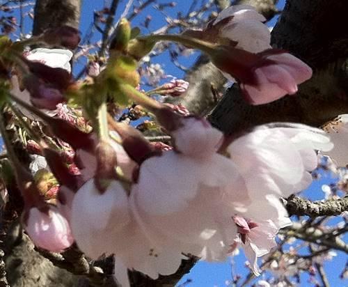 勿来の関 桜.JPG