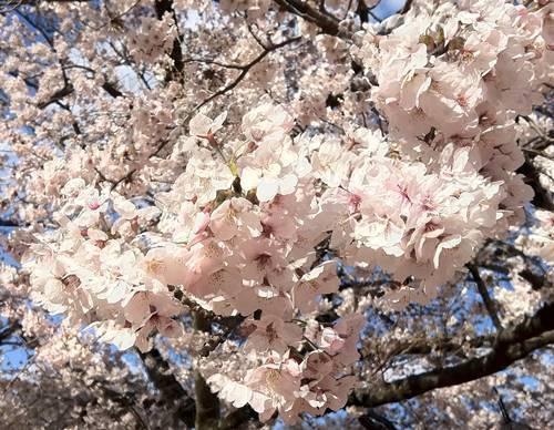 松ヶ岡公園 桜.JPG