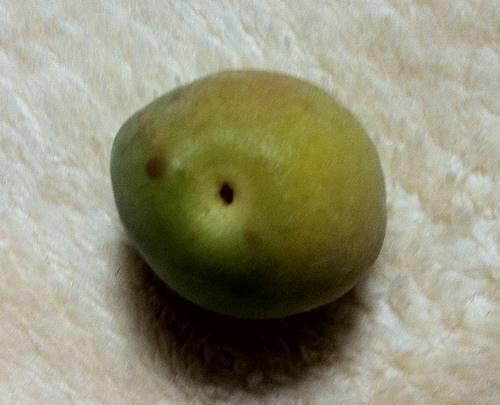 梅の実2.JPG