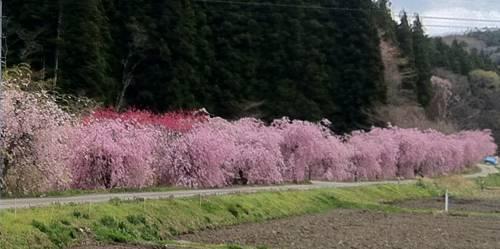越代の枝垂れ桜並木.JPG
