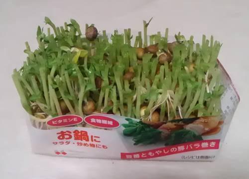 シジミとキャベツと豆苗のパスタ 再生栽培前.JPG