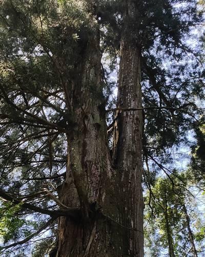 北茨城市 花園神社 三本杉 上部.jpg