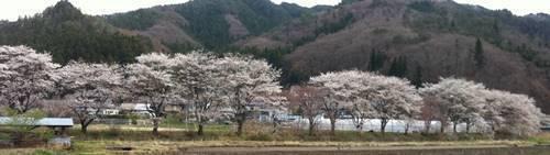 古殿町 桜.JPG