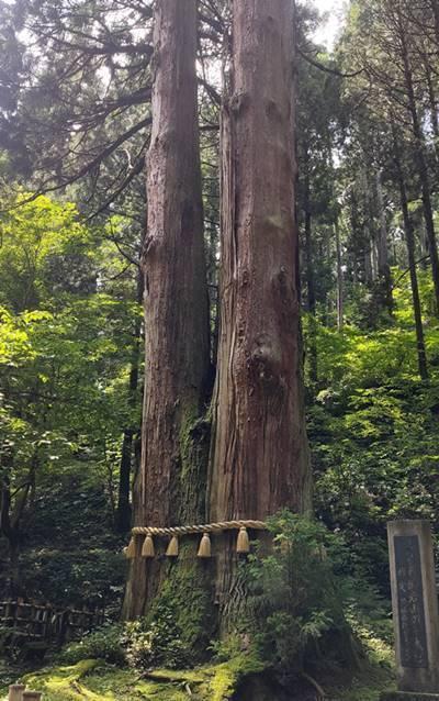 御岩神社 三本杉.jpg