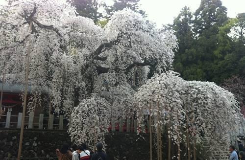 諏訪神社のシダレサクラ (1).JPG