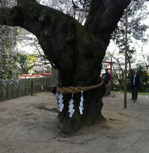 諏訪神社のシダレサクラ (2).JPG