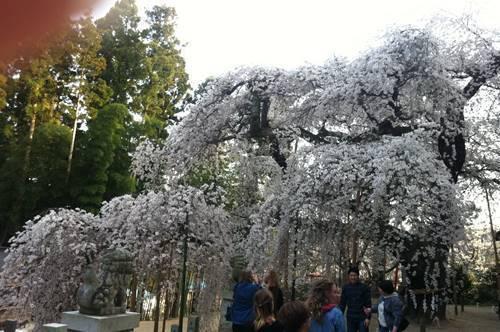 諏訪神社のシダレサクラ (3).JPG