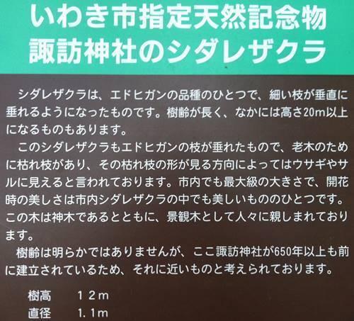諏訪神社のシダレサクラ看板.JPG