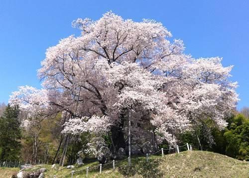 越代の桜1.JPG
