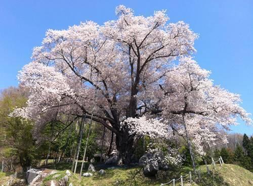 越代の桜2.JPG