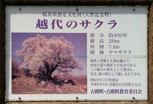 越代の桜 看板.JPG